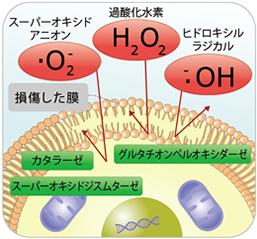 酸素 活性